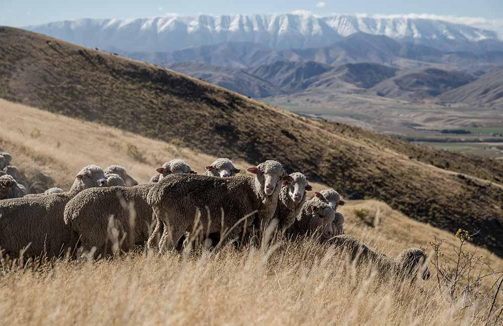 Merynosy z Nowej Zelandii