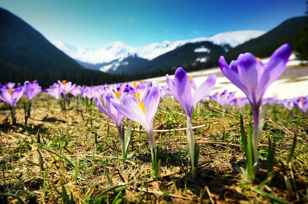 wiosna w górach - rozkwitające kwiaty