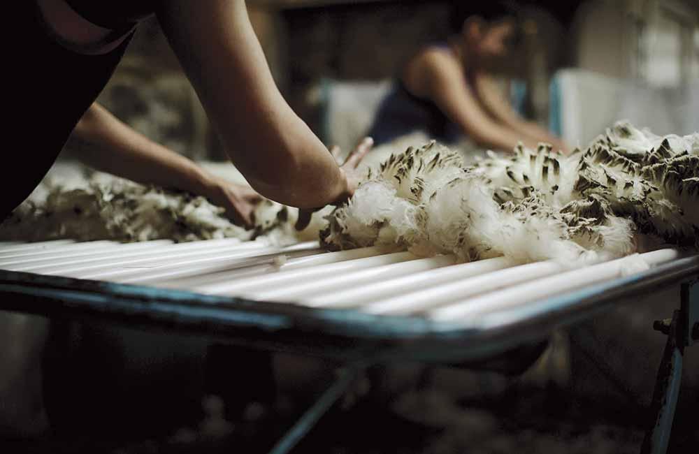 Wełna merynos w trakcie obróbki w fabryce