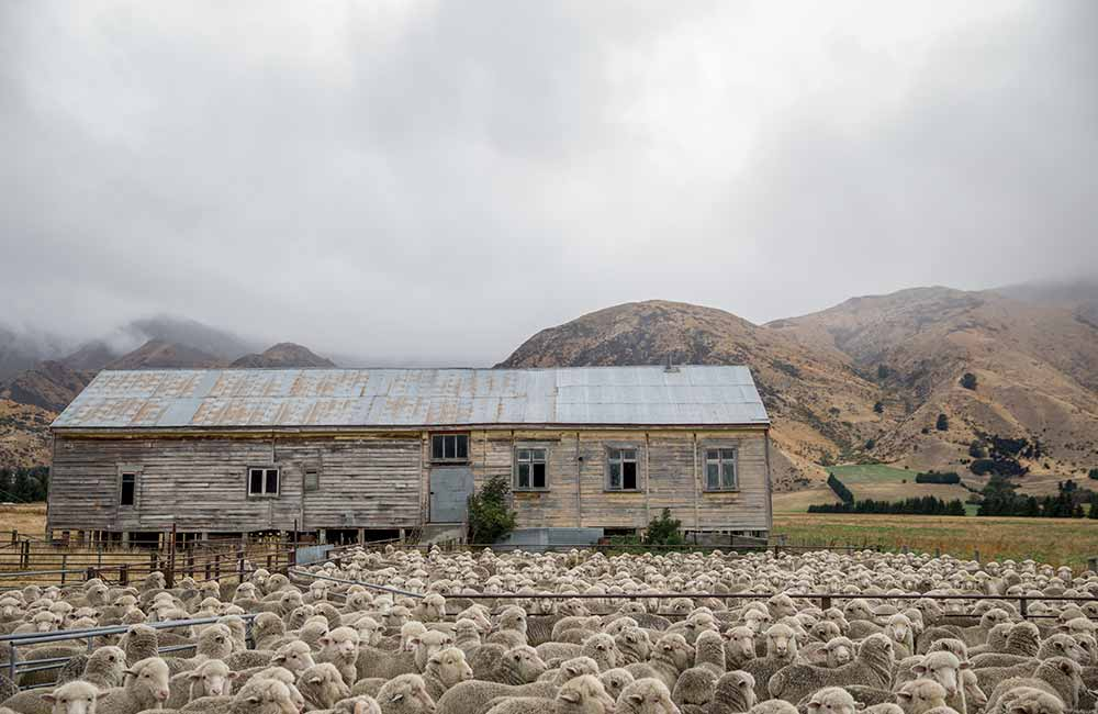 Hodowla owiec merino.