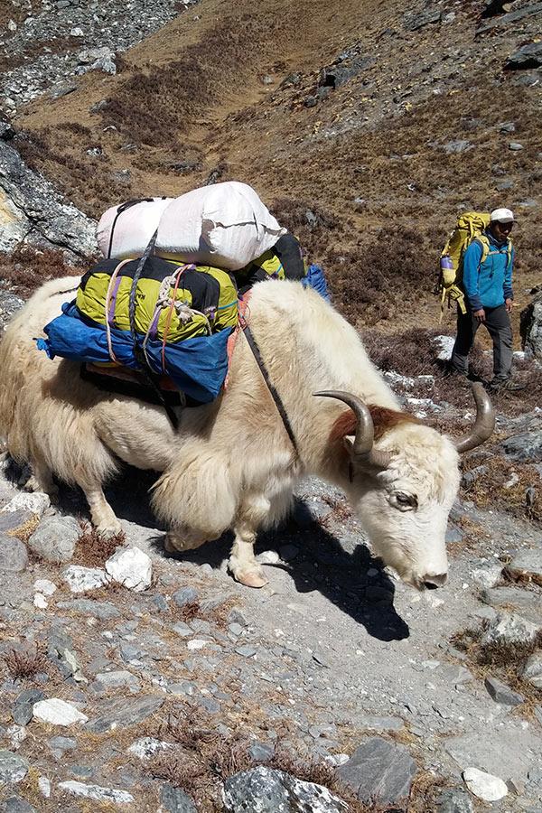 karawana w najwyższe góry świata często pokonywana przy pomocy jaków